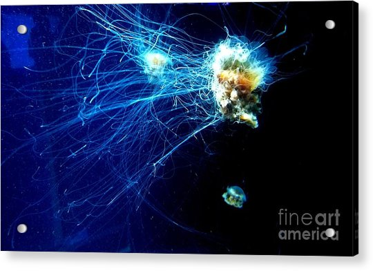 Lion-head Jellyfish  Acrylic Print
