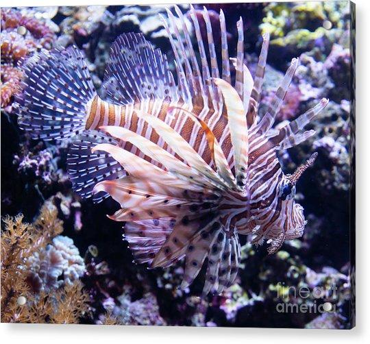 Lionfish R1355 Acrylic Print