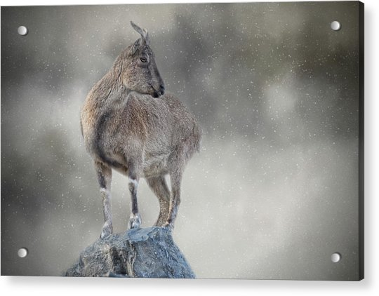 Little Rock Climber Acrylic Print