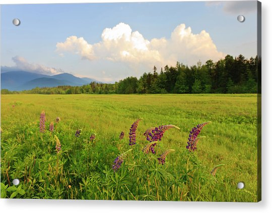 Lupine Lupinus In The White Mountains Acrylic Print