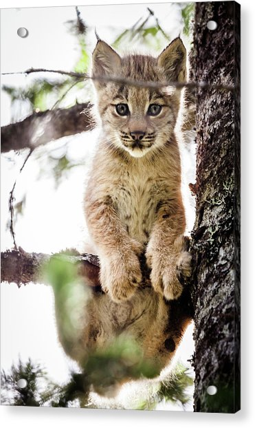 Acrylic Print featuring the photograph Lynx Kitten In Tree by Tim Newton