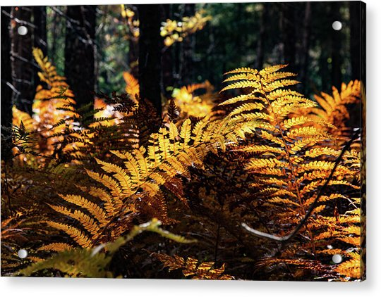 Maine Autumn Ferns Acrylic Print