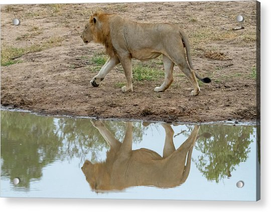 Male Lion And His Reflection Acrylic Print
