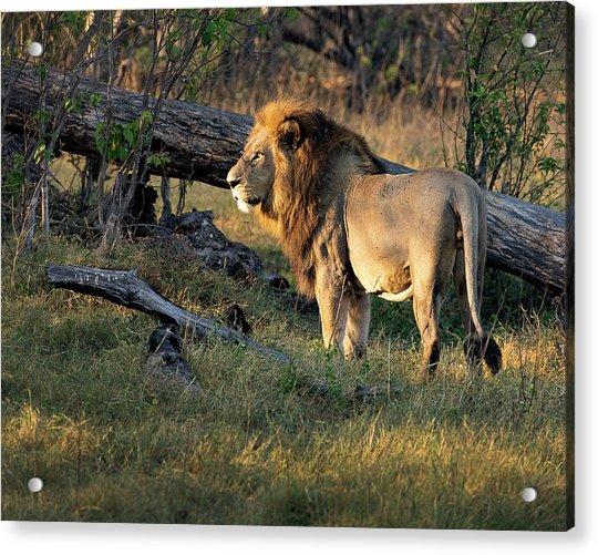 Male Lion In Botswana Acrylic Print