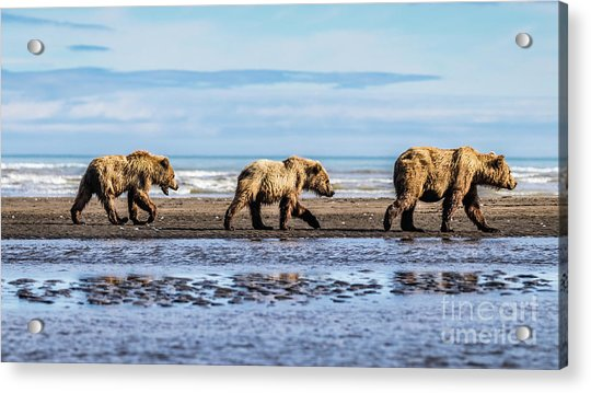 Mama Bear And Her Two Cubs On The Beach. Acrylic Print