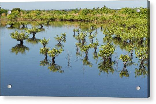 Mangrove Nursery Acrylic Print