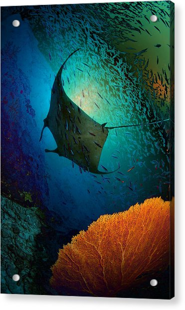 Manta Dreams Acrylic Print by Nature, Underwater And Art Photos. Www.narchuk.com