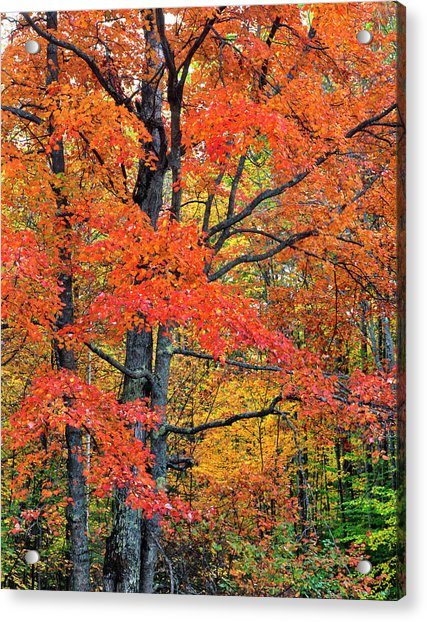 Maple Tree In Belknap Mountains, New Acrylic Print