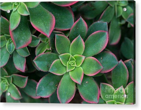 Miniature Succulent Plants Acrylic Print