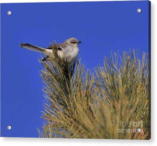 Mockingbird In White Pine Acrylic Print