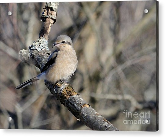 Northern Shrike Acrylic Print