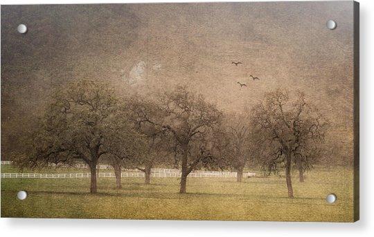 Oak Trees In Fog Acrylic Print