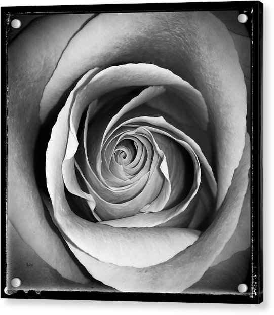 Old Rose Acrylic Print