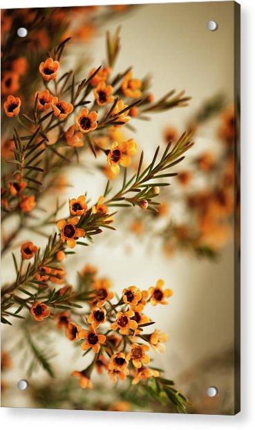Orange Waxflowers Chamaelaucium Acrylic Print by Maria Mosolova