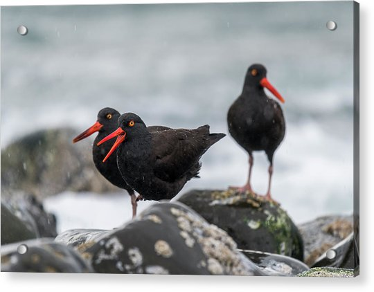 Oystercatchers In The Rain Acrylic Print