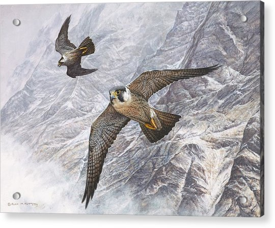 Acrylic Print featuring the painting Pair Of Peregrine Falcons In Flight by Alan M Hunt