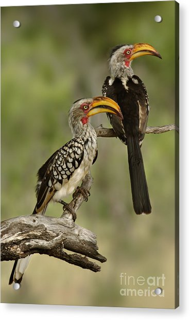 Pair Of Southern Yellowbilled Hornbills Acrylic Print
