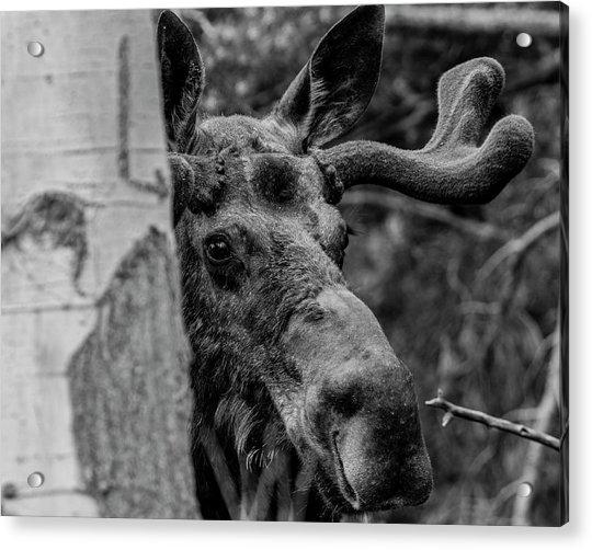 Peek-a-moose Acrylic Print