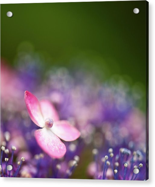 Pink And Purple Hydrangeas Acrylic Print by Nazra Zahri