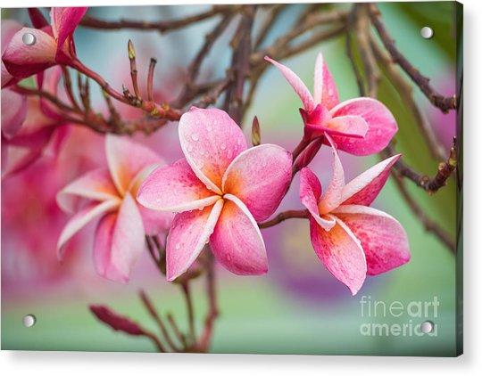 Pink Color Frangipani Flower Beauty Acrylic Print by Focusstocker