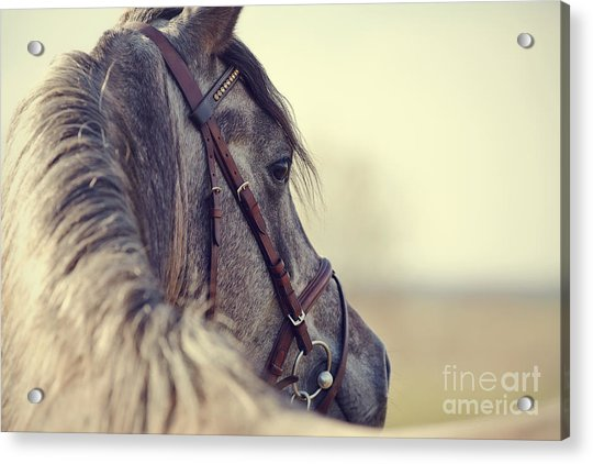 Portrait Of A Sports Stallion In A Acrylic Print by Elya Vatel