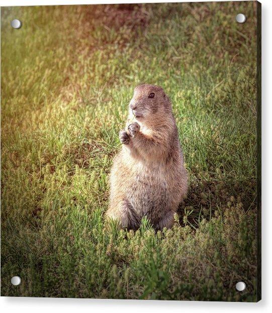 Prairie Dog II Acrylic Print