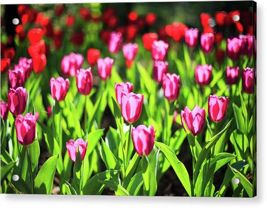 Purple And Red Tulips Under Sun Light Acrylic Print