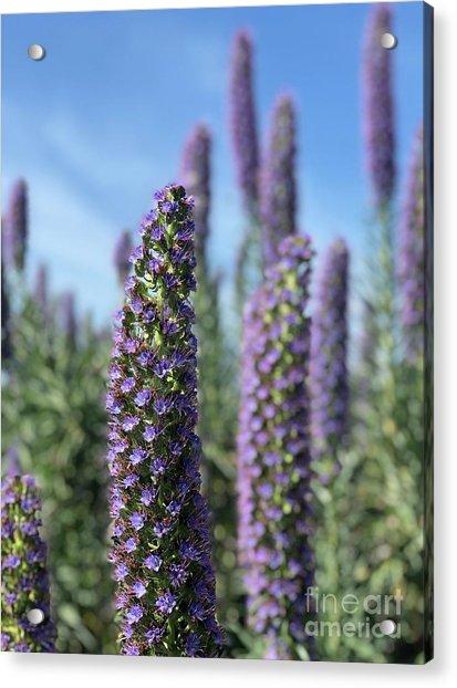 Purple Hyssop  Acrylic Print