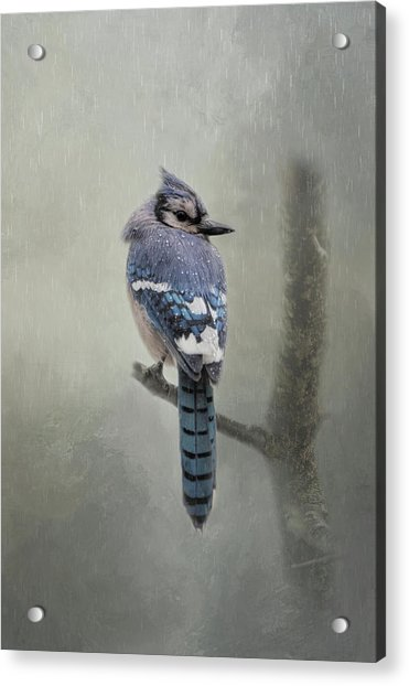Rainy Day Blue Jay Acrylic Print