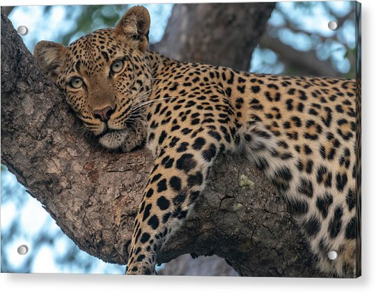 Relaxed Leopard Acrylic Print