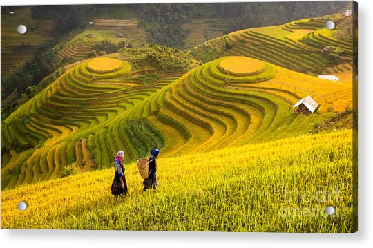 Rice Fields On Terraced Of Mu Cang Acrylic Print
