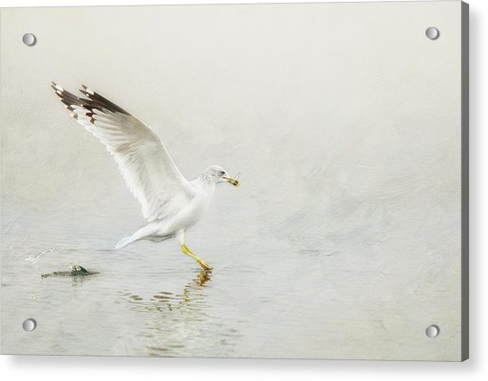 Ring-billed Gull With Fish Acrylic Print
