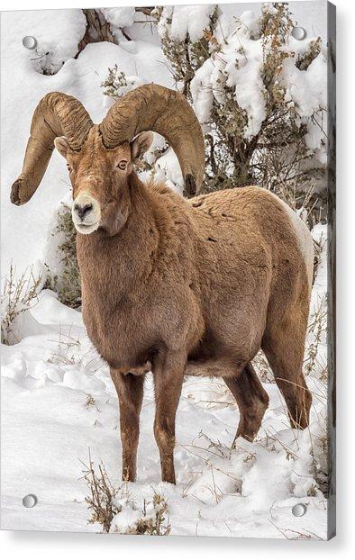 Rio Grande Bighorn Acrylic Print