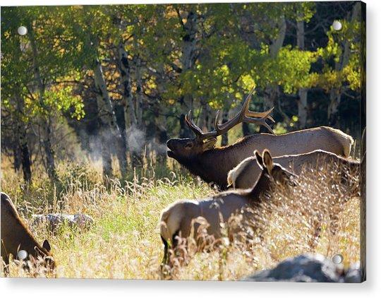 Rocky Mountain Bull Elk Bugeling Acrylic Print