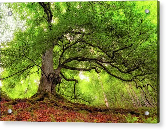 Acrylic Print featuring the photograph Roots Of Taymouth Estate - Scotland - Beech Tree by Jason Politte