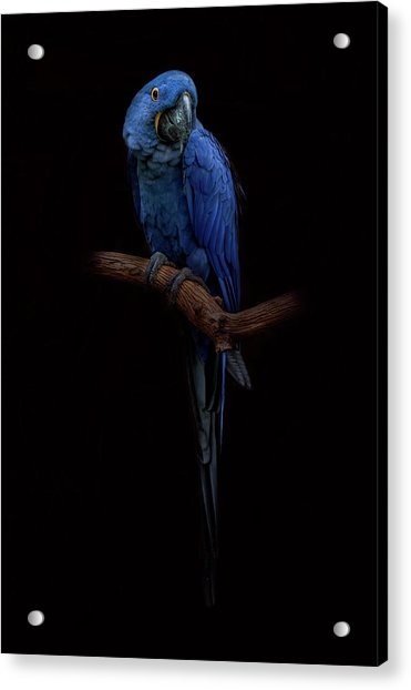Royal Blue Beauty  Acrylic Print