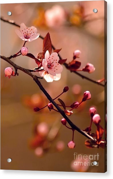Sakura Flowers Acrylic Print