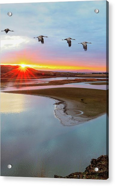 Sandhill Cranes At Scooteney Reservoir Wa Acrylic Print