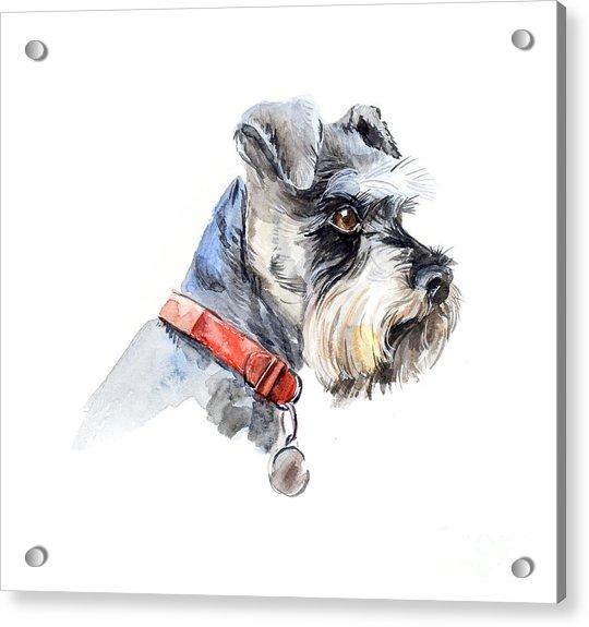 Schnauzer. Portrait Of A Dog. Set With Acrylic Print