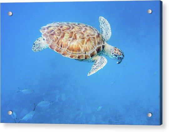 Sea Turtle And Fish Swimming Acrylic Print