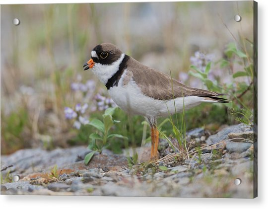Semipalmated Plover Calling, Creek Bed Acrylic Print by Ken Archer