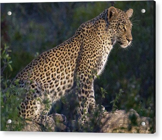 Sitting Leopard Acrylic Print
