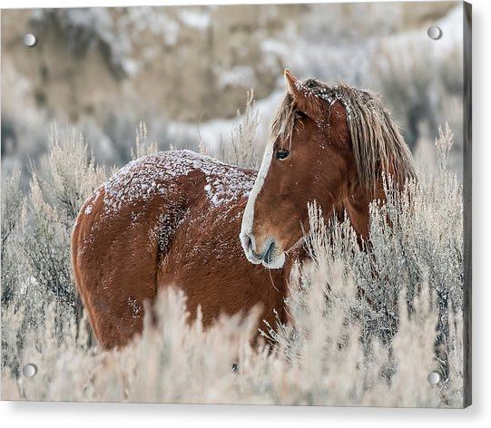 Snow Dusted Mustang Stallion Acrylic Print
