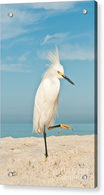 Snowy Egret Standing On Sandy Beach On Acrylic Print