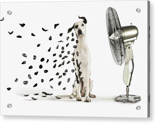 Spots Flying Off Dalmation Dog Acrylic Print