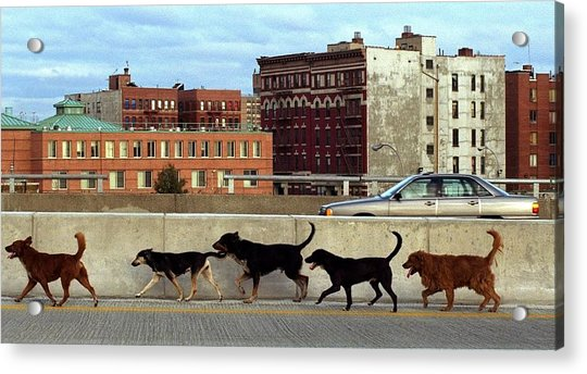 Stray Dogs Stroll Along The Bruckner Acrylic Print by New York Daily News Archive