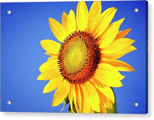 Sunflower Acrylic Print by Mbbirdy