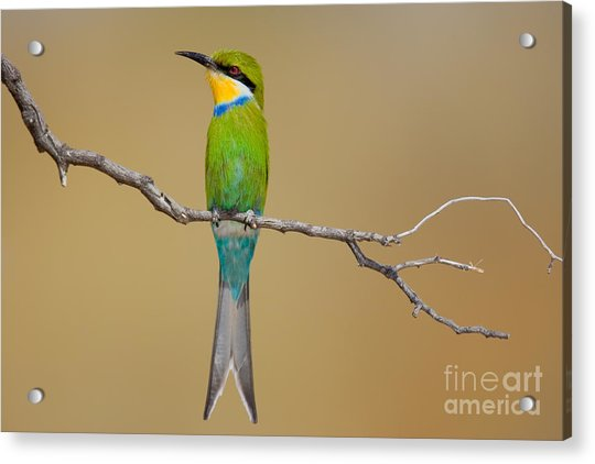 Swallow-tailed Bee-eater Merops Acrylic Print by Johan Swanepoel