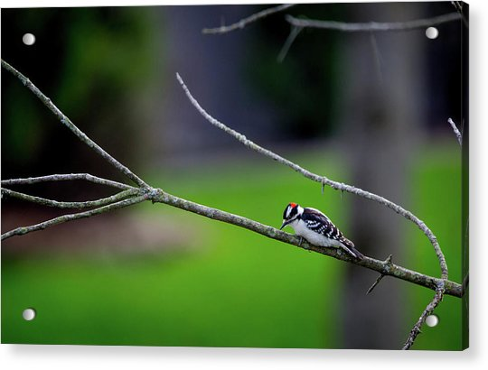 The Downey Woodpecker Acrylic Print