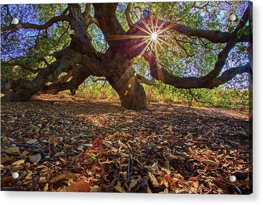 The Old Oak Acrylic Print